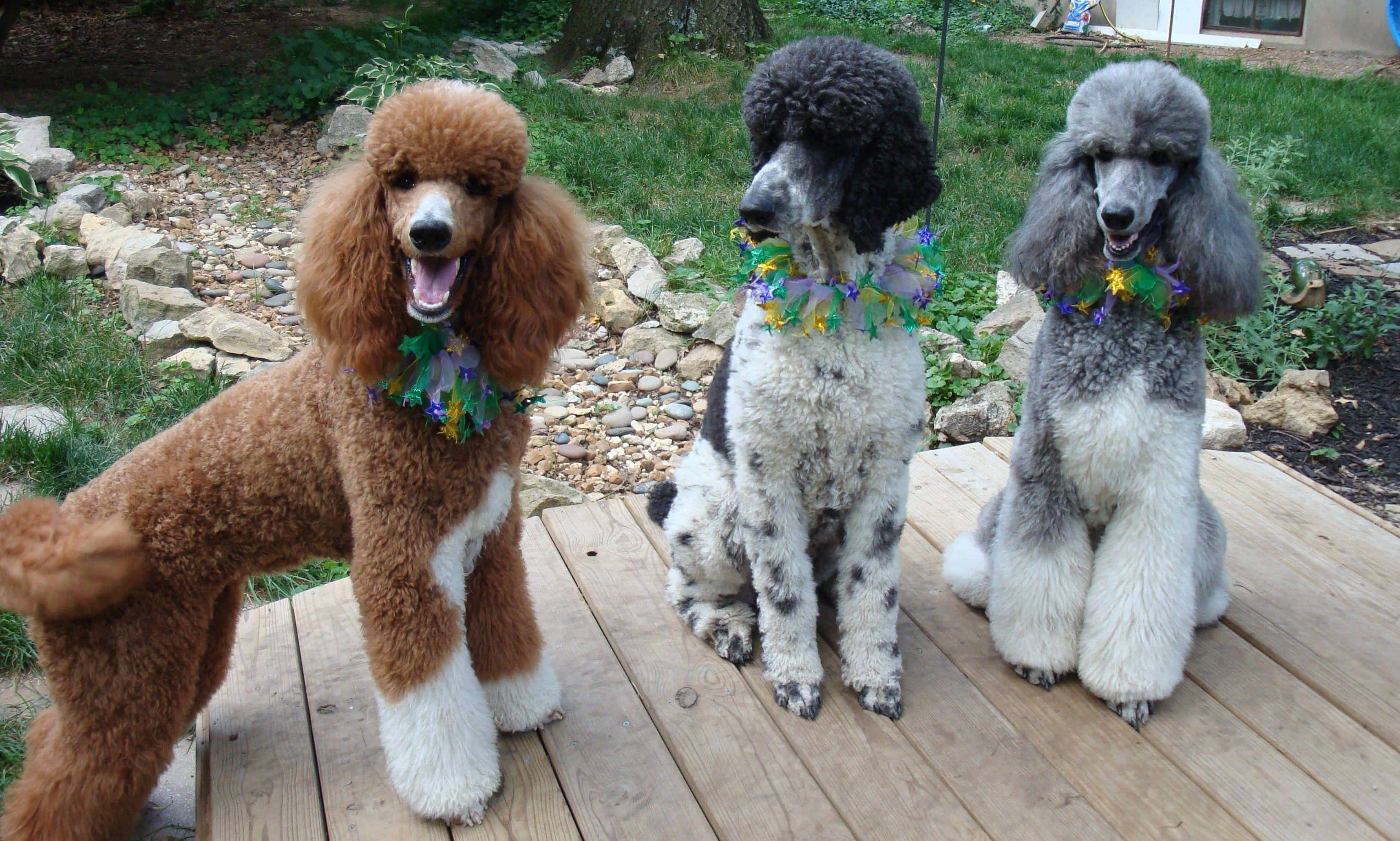 My Girls Standard Poodle Parti Poodle Poodle Dog