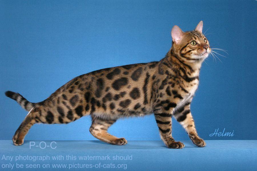 Bengal Cat Thriller Bengal Cat Cat Care Asian Leopard Cat