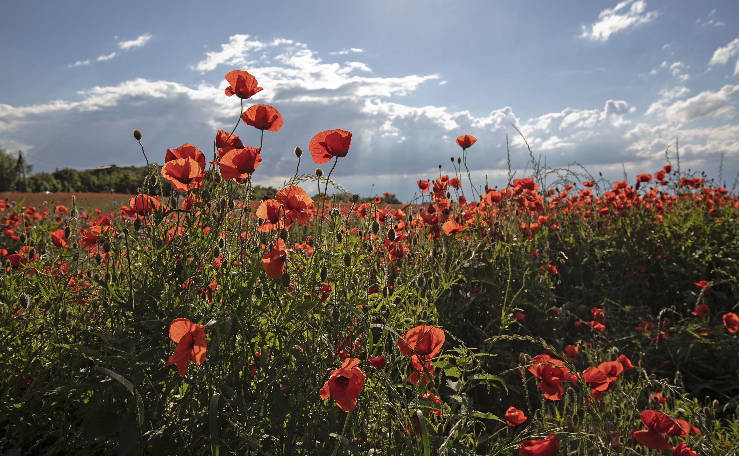 Bild Mit Natur Pflanzen Sommer Mohn Mohnblume Mohnblumenfeld In 2020