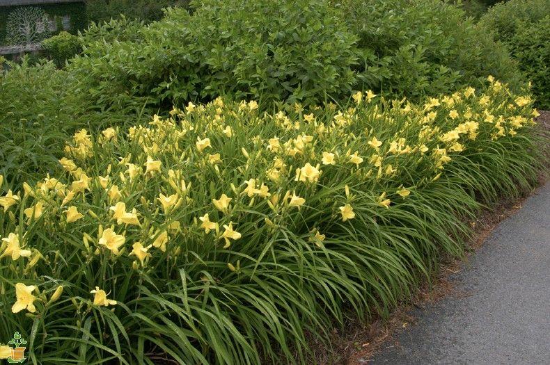 Happy Returns Daylily Day Lilies Landscape Landscape Design