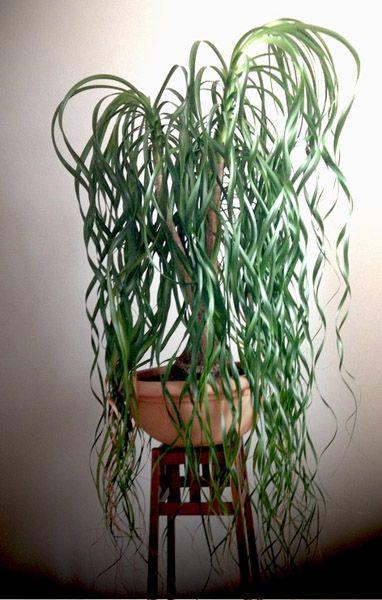 Illustration de beaucarnea nolina plantes d 39 int rieurs for Plante verte maison