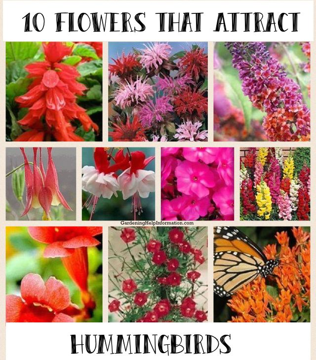 10 Flowers To Plant Attract Hummingbirds