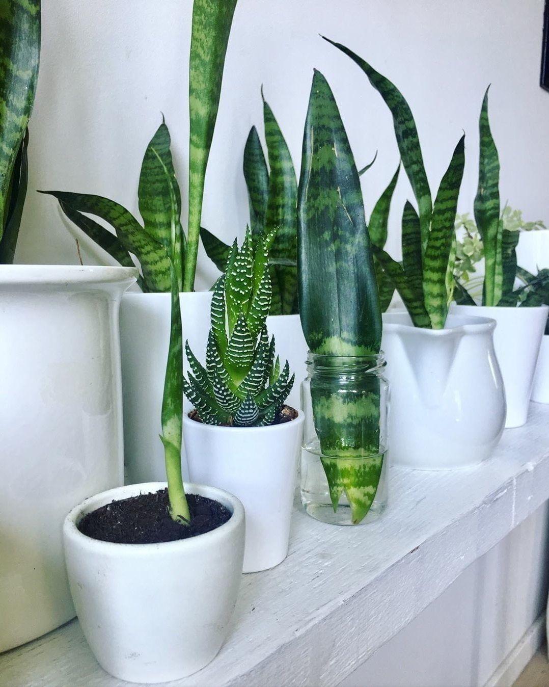 Pin by Nora Vera on garden  Plants, Snake plant, Sansevieria plant