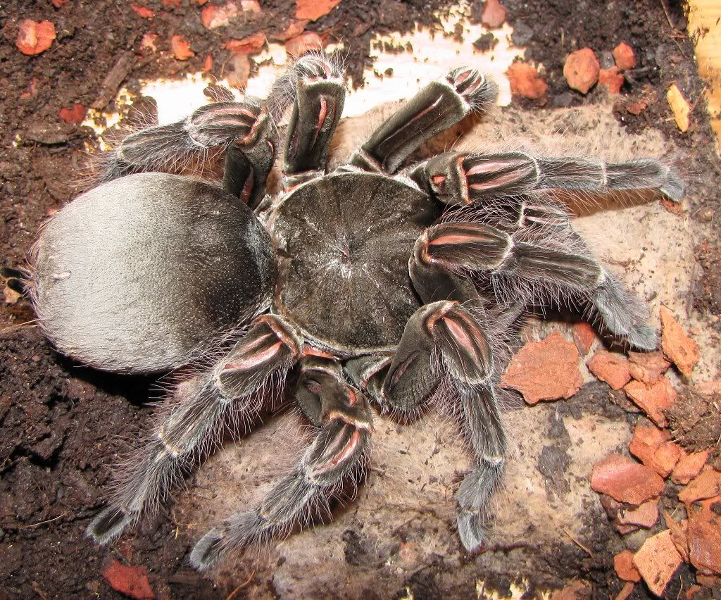 1001Archives: World's Biggest Spider ever seen | arañas ...