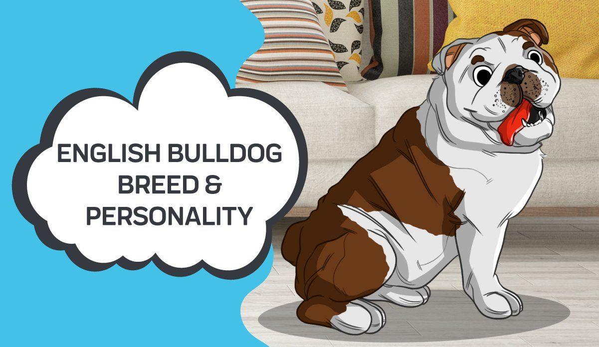 Learn About The English Bulldog Breed Personality Bulldog