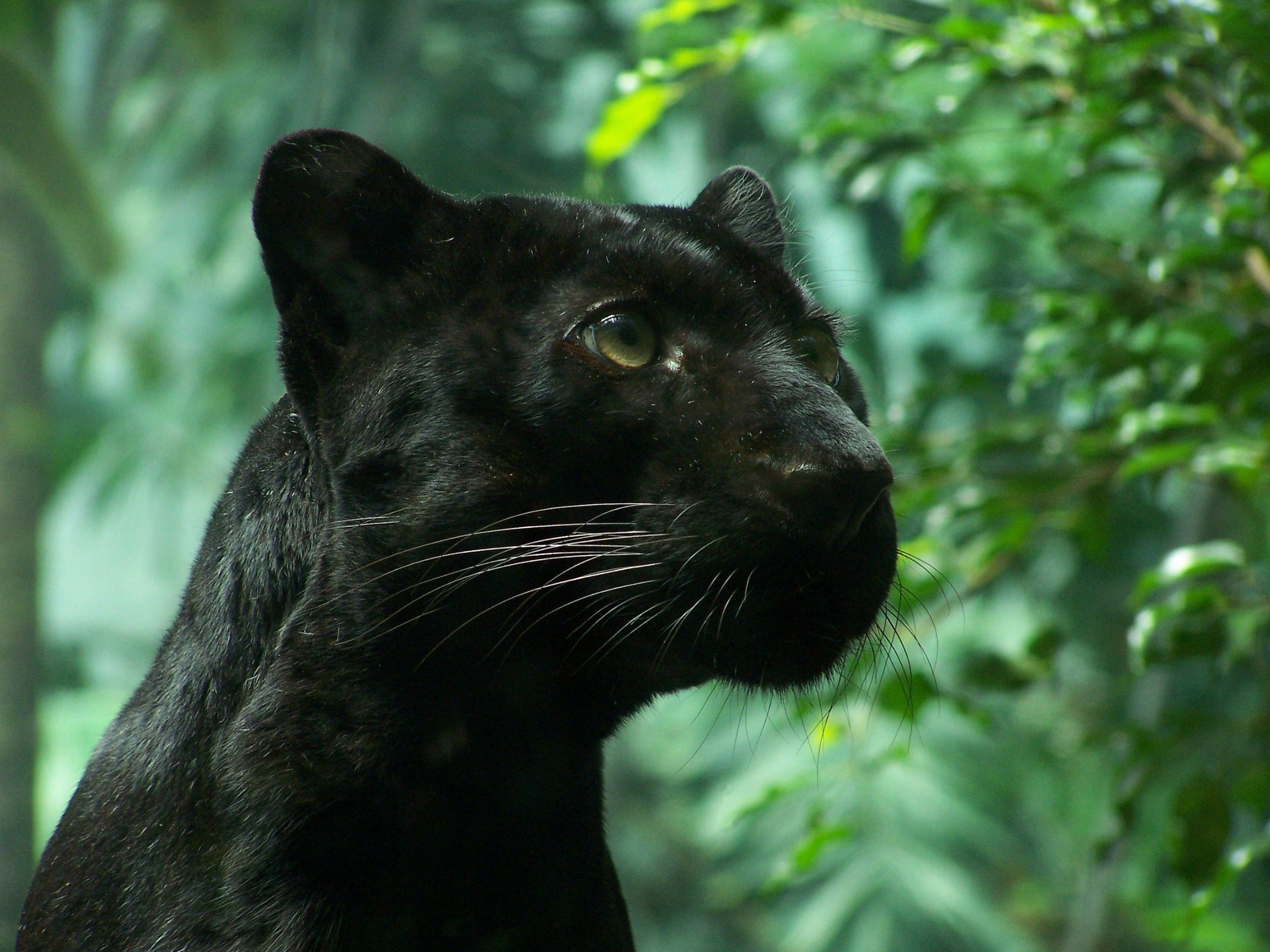 Black Panther Wallpaper *Highly Endangered* So amazingly