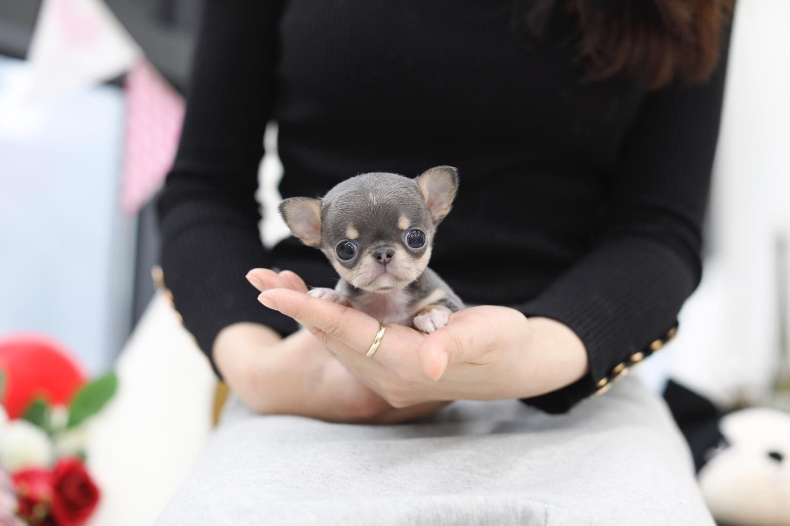 Lil Azul Makes Us All Want A Micro Chihuahua 3 Gorgeous
