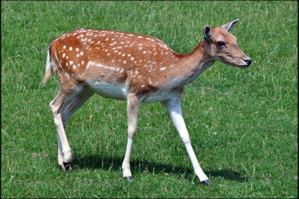 Bambi  (fawn)