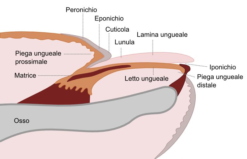 Nozioni di anatomia delle unghie