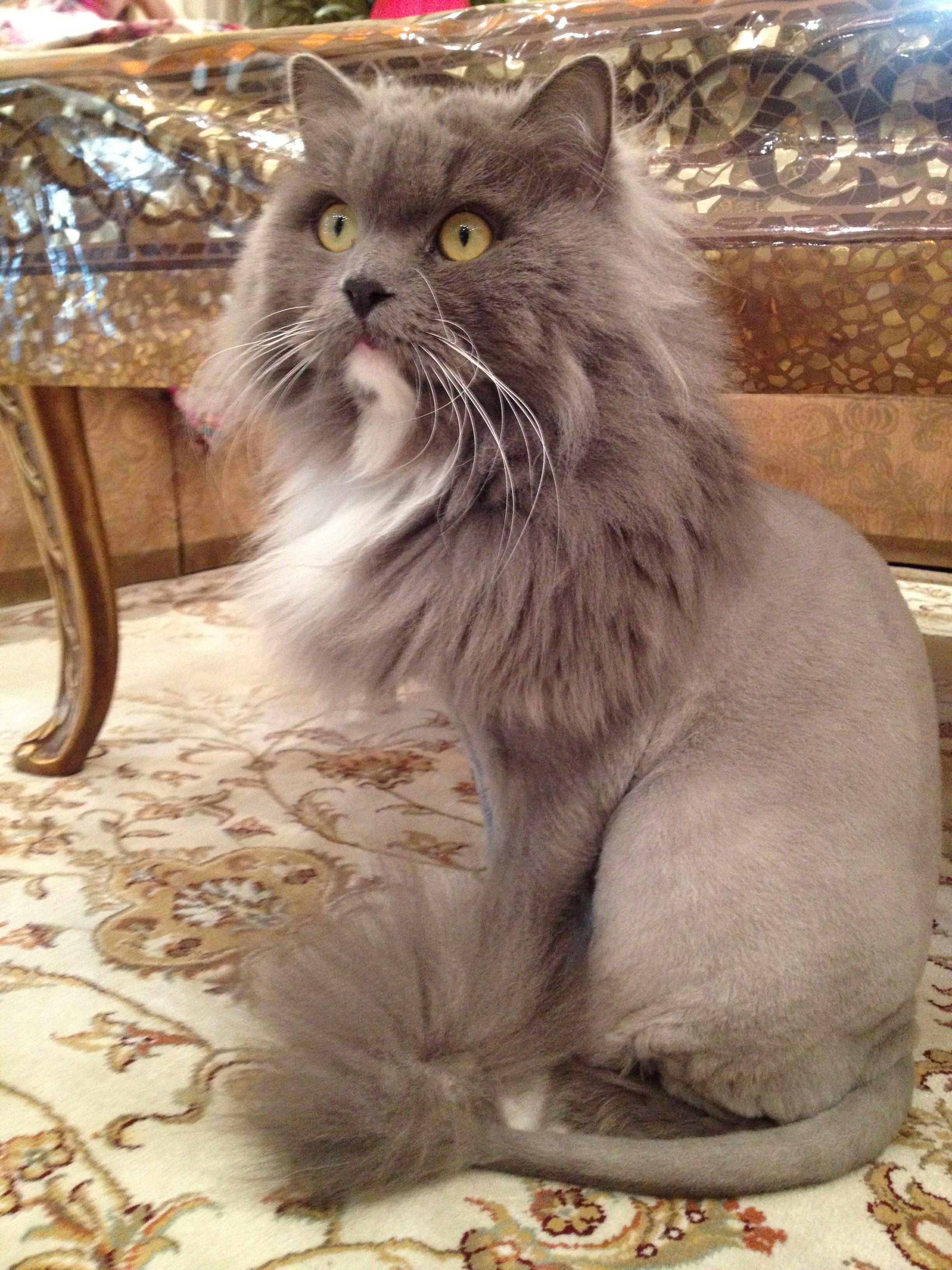SMOKEY. MY TURKISH ANGORA Persian cat, Cats, Cat