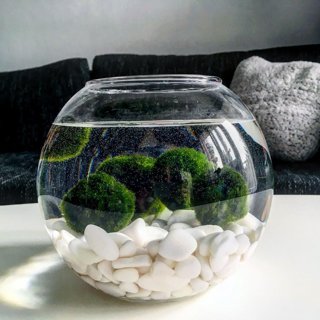 Řasokoule zelená M (With images) Marimo moss ball