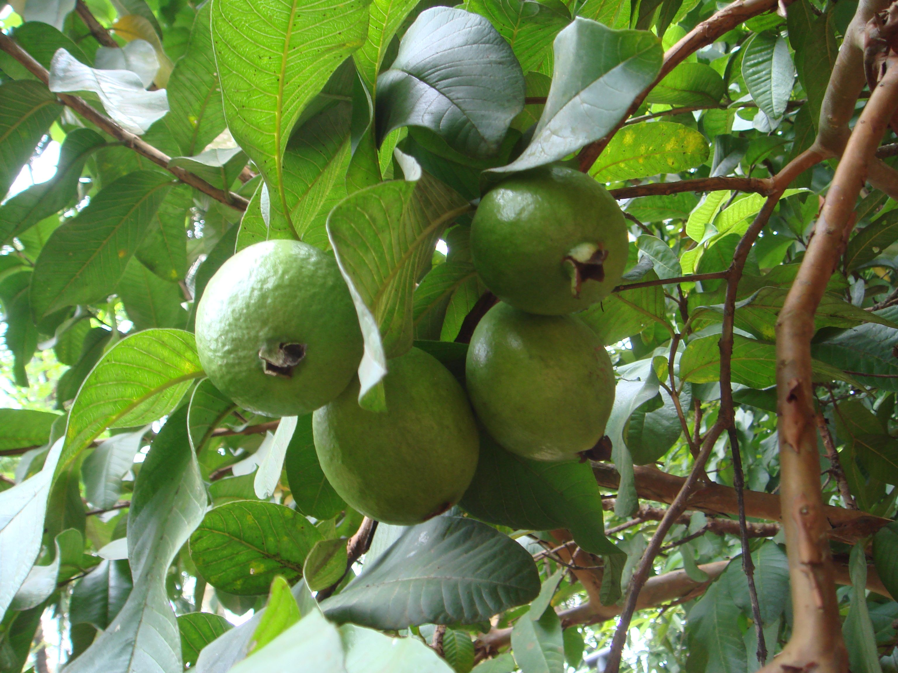 Free Plant Identification in 2020 Guava tree, Guava leaf