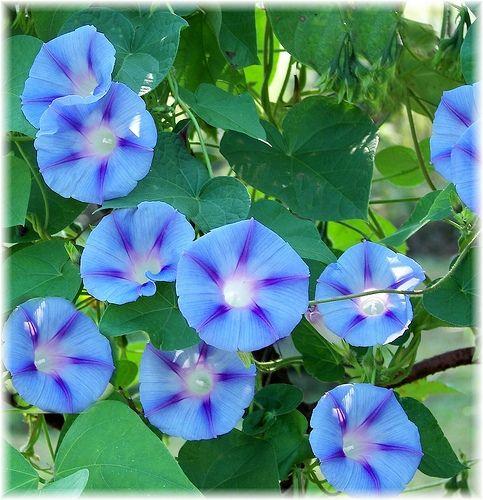 Heavenly Blue Morning Glory Morning Glory Flowers Blue Morning Glory Morning Glory