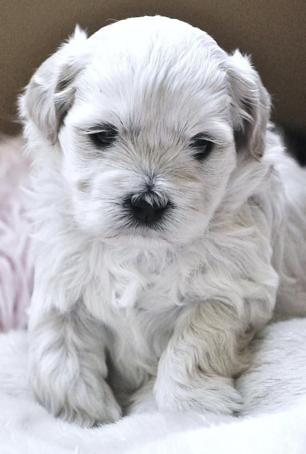 Tiny Maltese Puppy By Lisa Difruscio Tiny Puppies Puppies Cute