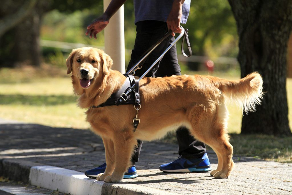 South African Guide Dogs Association For The Blind Guide Dog Rottweiler Dog Puppy Rottweiler Dog