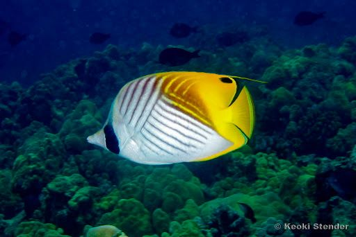 Chaetodon Auriga Threadfin Butterflyfish Blue Ocean Fish Pet Fish