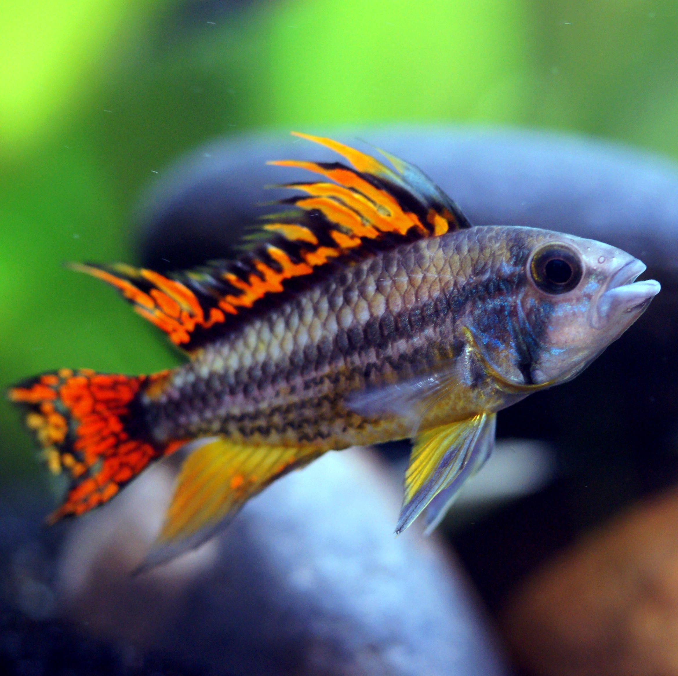 Apistogramma cacatuoides the dwarf cockatoo cichlid for Colorful freshwater fish for sale