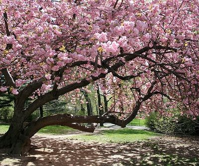 Image result for spring tree