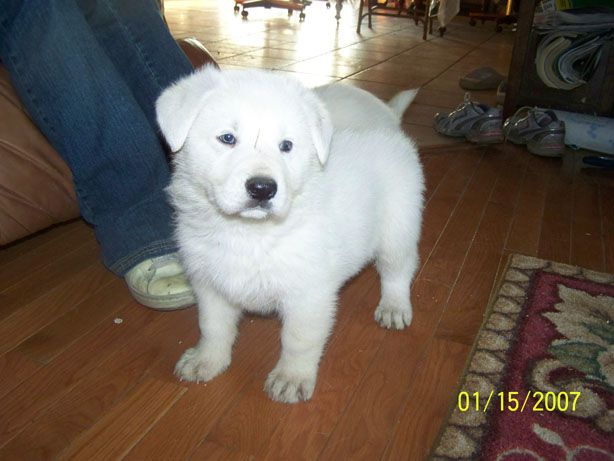 White German Shepherd Puppy Love At First Sight German