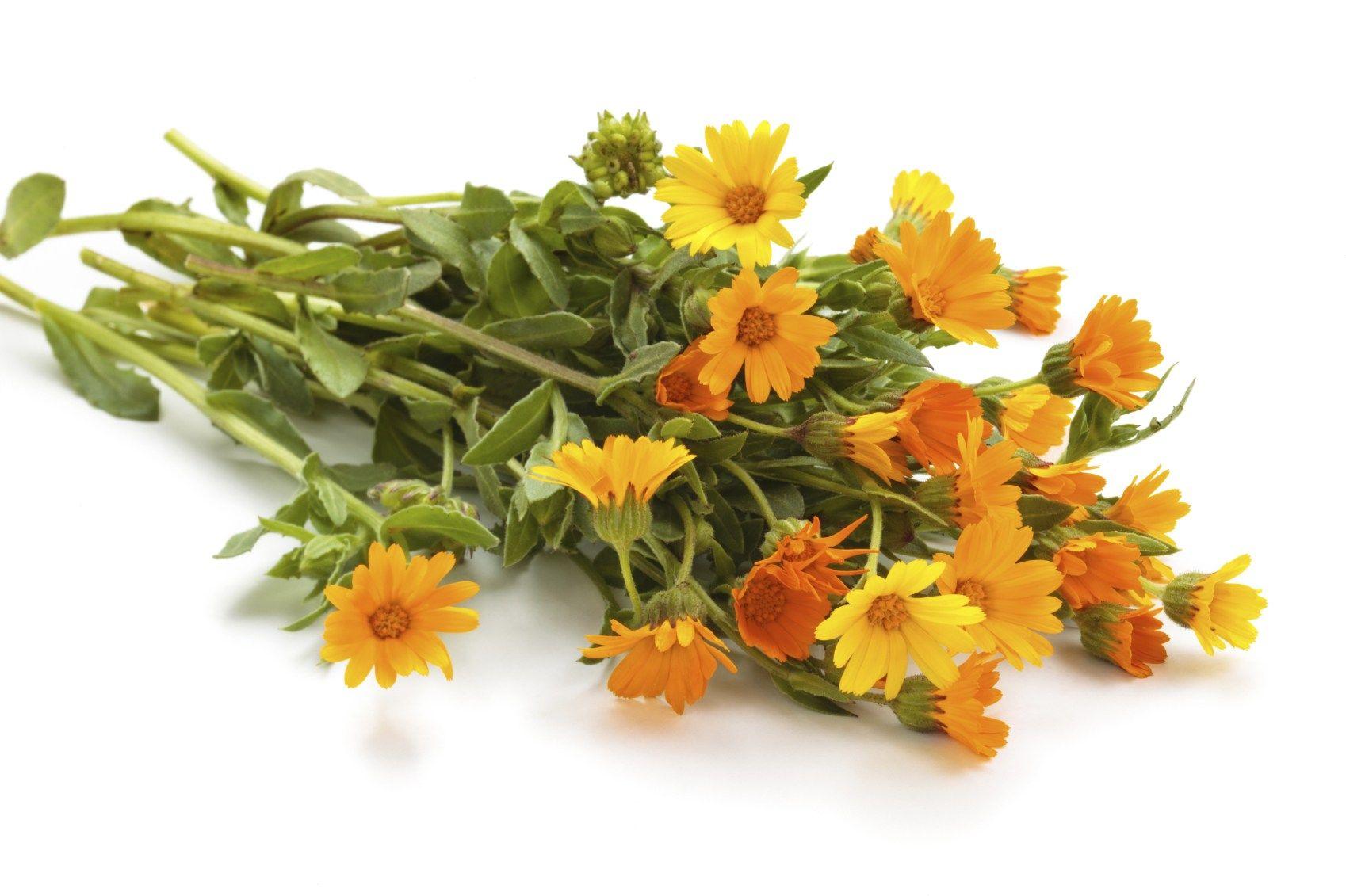 Calendula [Marigold] Bunch Calendula, Calendula oil
