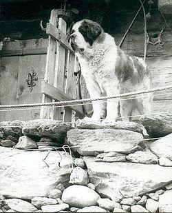 San bernardo (perro) - Wikipedia, la enciclopedia libre