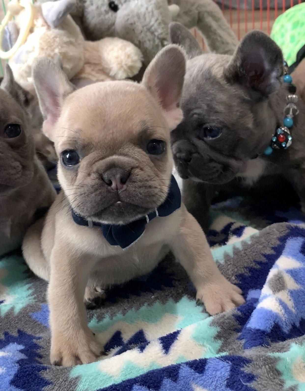 Pin By Melissa Cote On Cute In 2020 Baby French Bulldog French