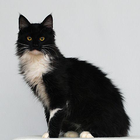 gato Afrodita / Aphrodite cat  http://www.letocar.com/wp-content/uploads/2011/08/aphrodite_cat_d.jpg#  http://en.wikipedia.org/wiki/List_of_minority_cat_breeds#Aphrodite
