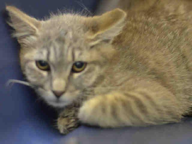 Tulip A1078423 Kitten Adoption Cat Adoption