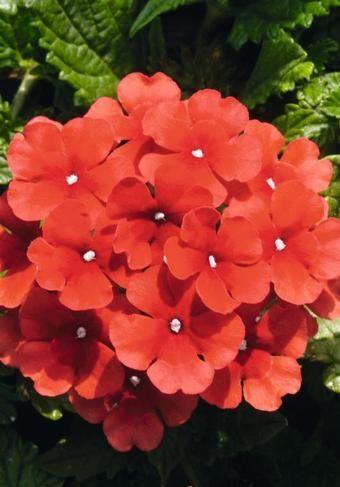 Verbena ~ Fuego series 'Bright Red'