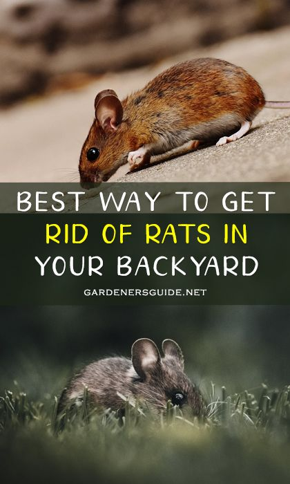 Best Way To Get Rid Of Rats In Your Backyard in 2020 ...