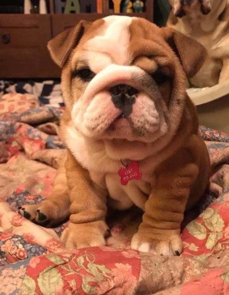 All About The Friendly Bulldog Dog Temperament