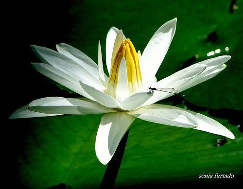 Quinta-flower