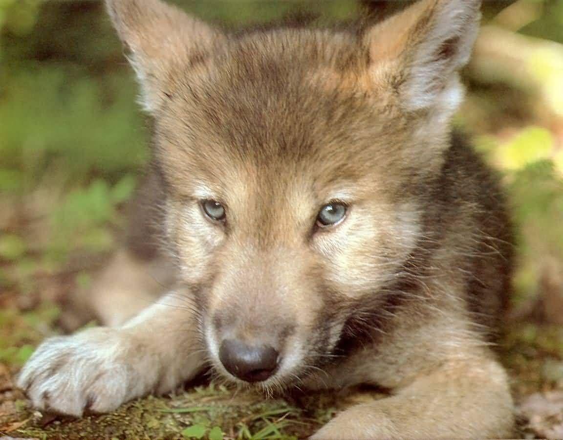 I wonder what this wolf pup is thinking?