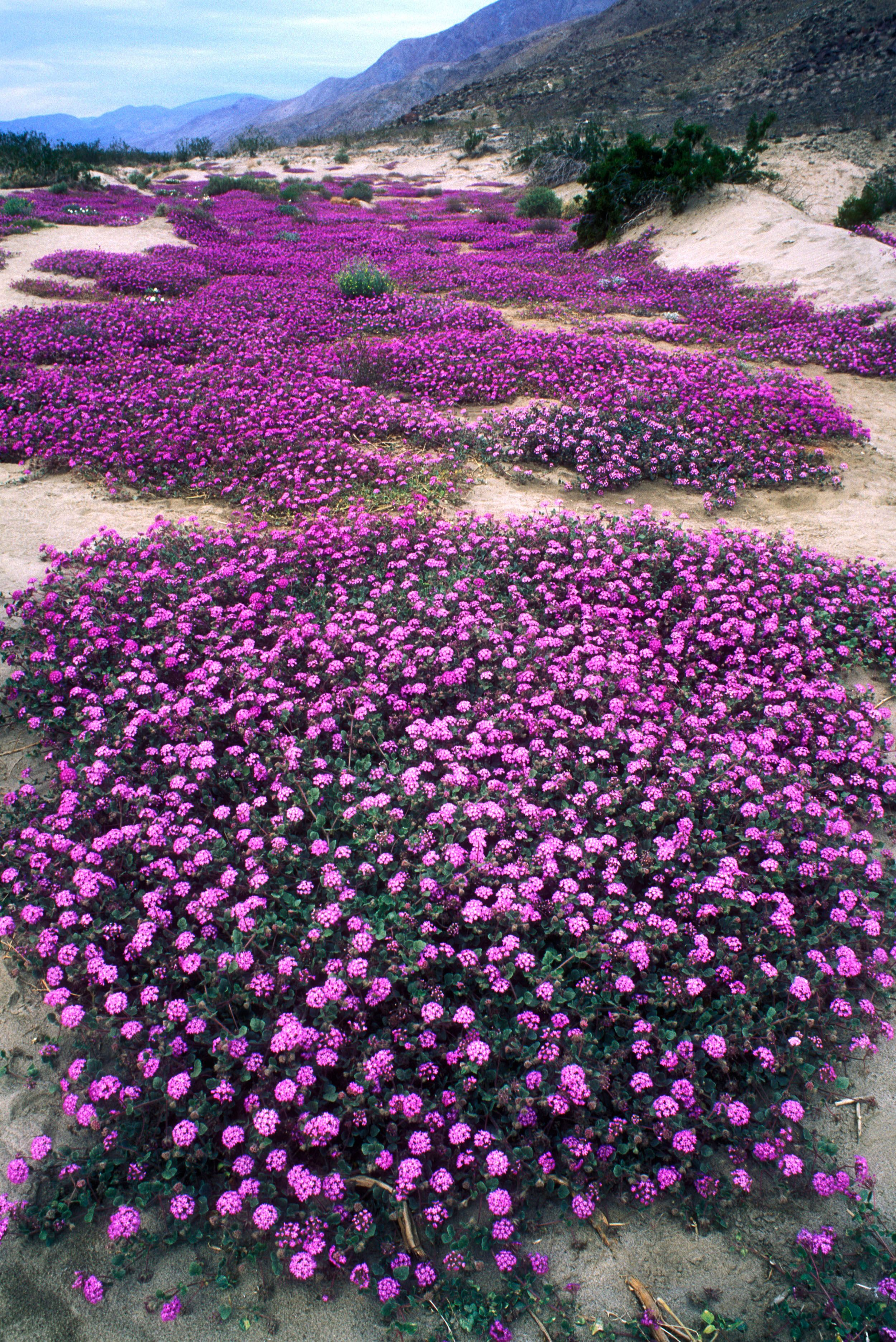 Where to go this weekend borrego springs ca borrego springs where to go this weekend borrego springs ca sand verbenas in bloom at anza borrego desert state park photo by george ostertagage fotostockalamy mightylinksfo