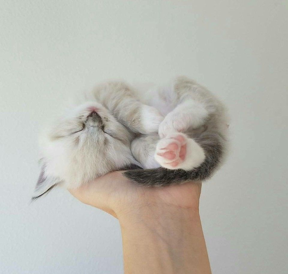 Pin By Mooninday On Animals Baby Cats Kittens Cutest Cute Baby Animals