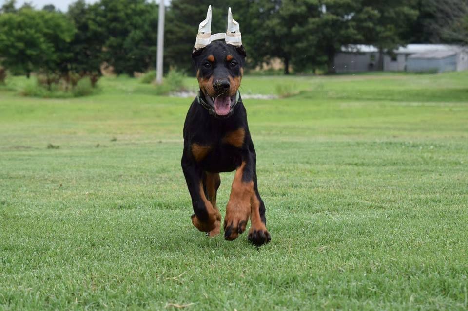 Doberman Puppies Www Sierradobiefarms Com My Dobie Judah