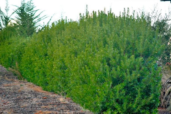 Best Screening Trees Shrubs For San Diego Part 1 Hedges