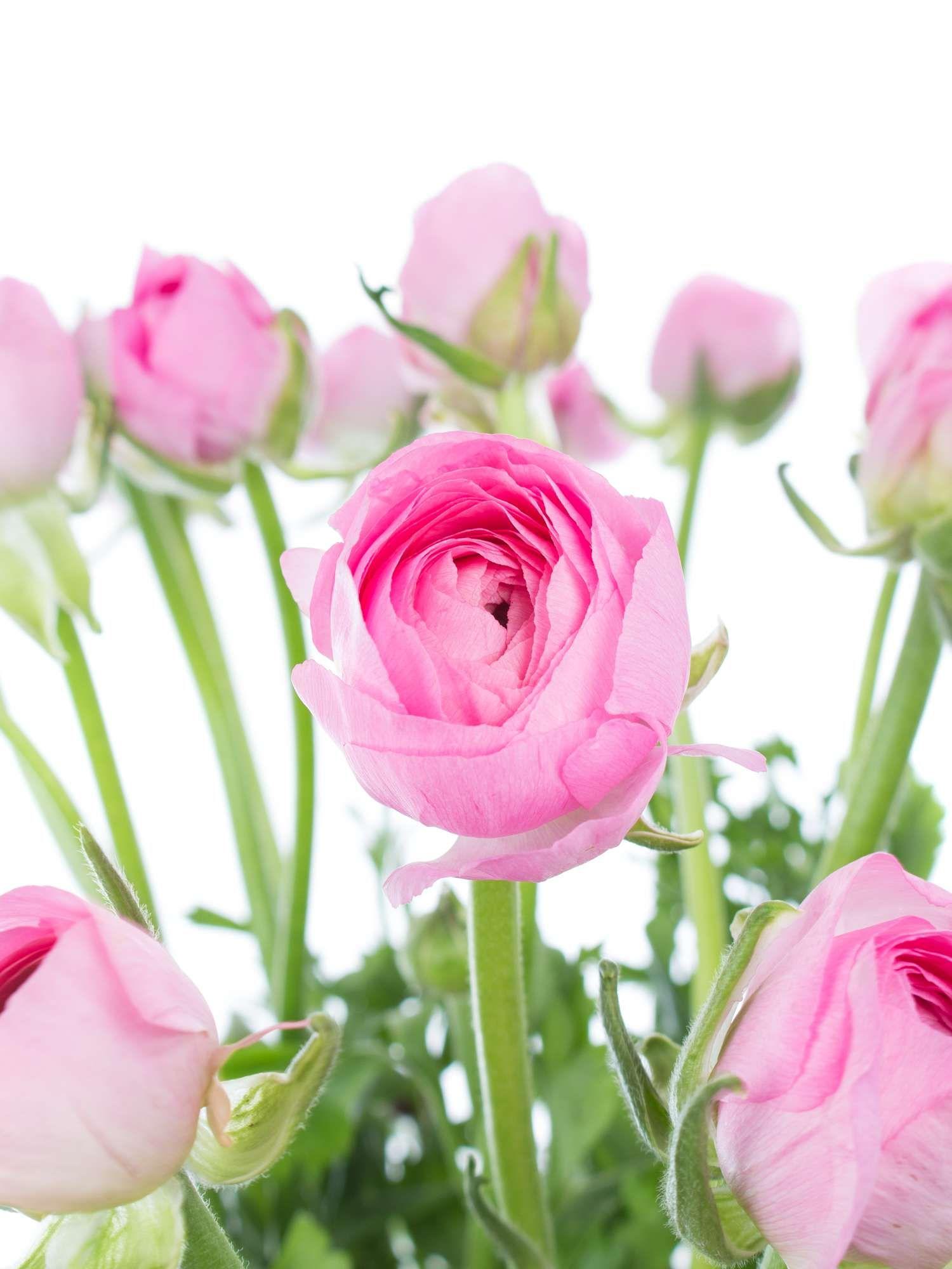 rosa ranunkeln der sorte 39 pink 39 und andere fr hjahrsblumen jetzt entdecken auf rosa. Black Bedroom Furniture Sets. Home Design Ideas