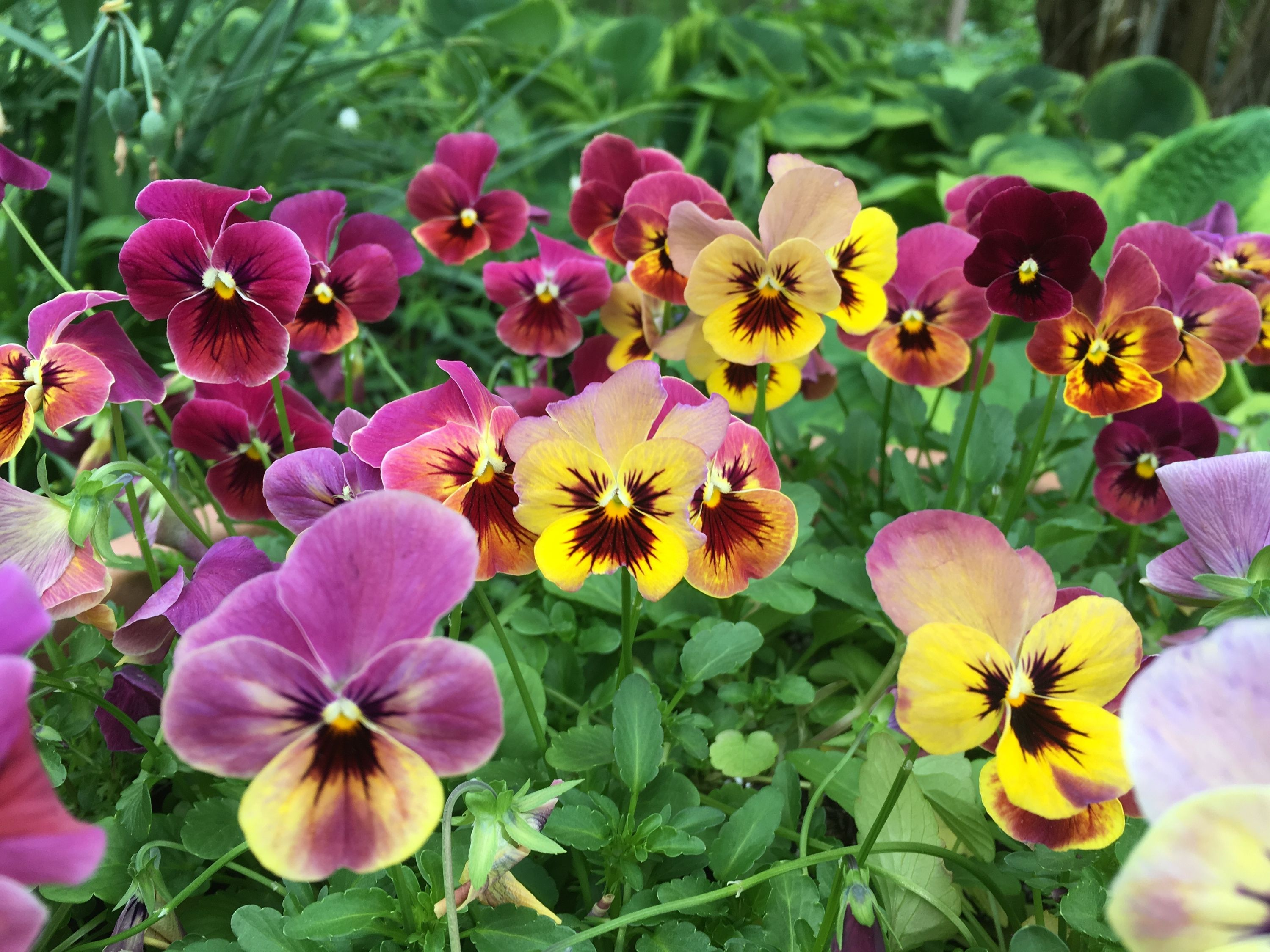 Pansy Isn T The Best Name For These Hardy Flowers Bees And Roses Pansies Flowers Cottage Garden Plants Pansies