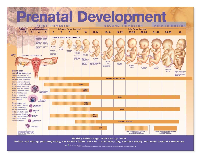 17 best ideas about Prenatal Development on Pinterest | Trimesters ...