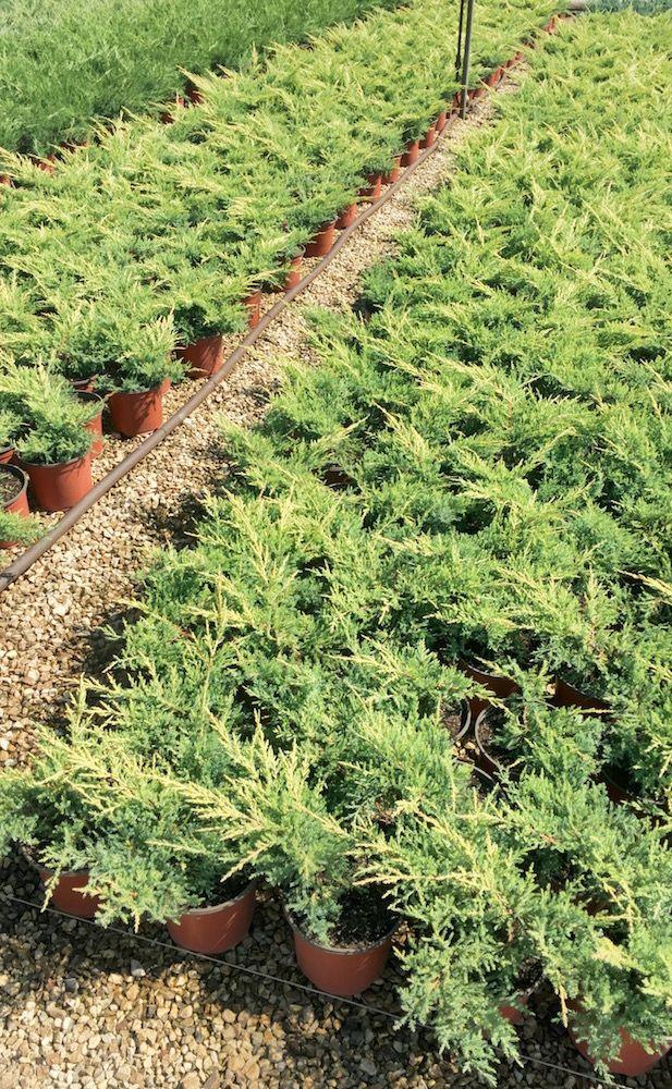 Ll Ginepro Juniperus Horizontalis Dorato E Pianta Strisciante