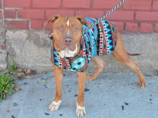Brooklyn Center SONY – A1057789 MALE, TAN / WHITE, AM PIT BULL TER MIX, 2 yrs STRAY – STRAY WAIT, NO HOLD Reason STRAY Intake condition EXAM REQ Intake Date 11/13/2015, From NY 11692, DueOut Date 11/16/2015,