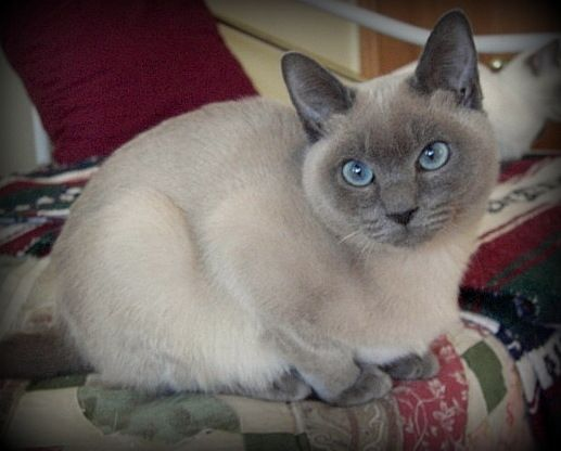 Rumble Blue Mink Tonkinese Kitten Siamese Cats Blue Point