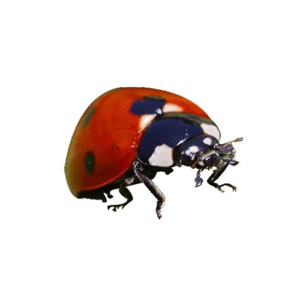 Red Ladybug Insect ❤ liked on Polyvore featuring tiere