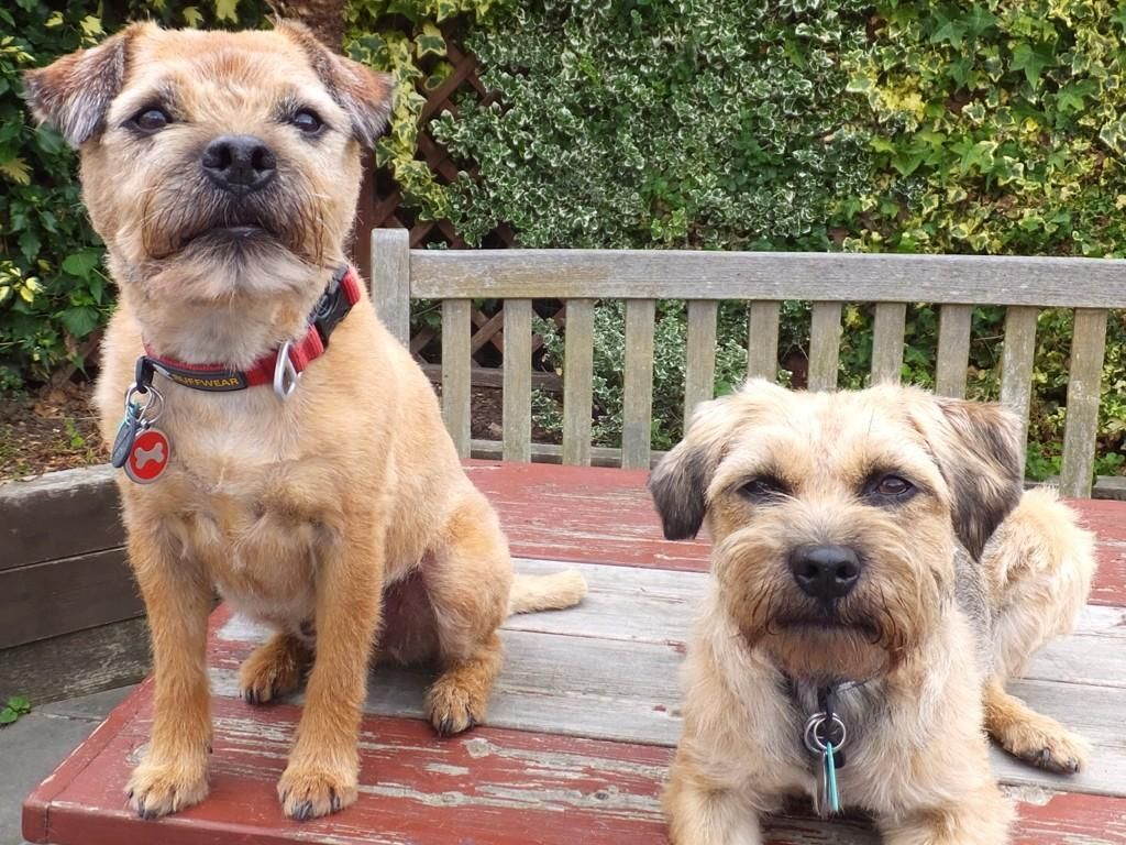 Sir Rohan The Bt On Patterdale Terrier Brown Dog Border Terrier