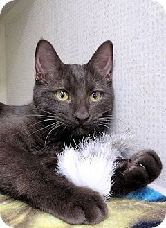 Havana Brown Cat For Adoption In St Paul Minnesota Miss Mimi Havana Brown Cat Cat Adoption Kitten Adoption