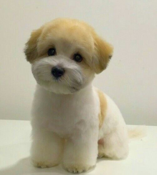 Bichon Shih Tzu Mix Bichon Shih Tzu Mix Dog Haircuts Teddy Bear Puppies