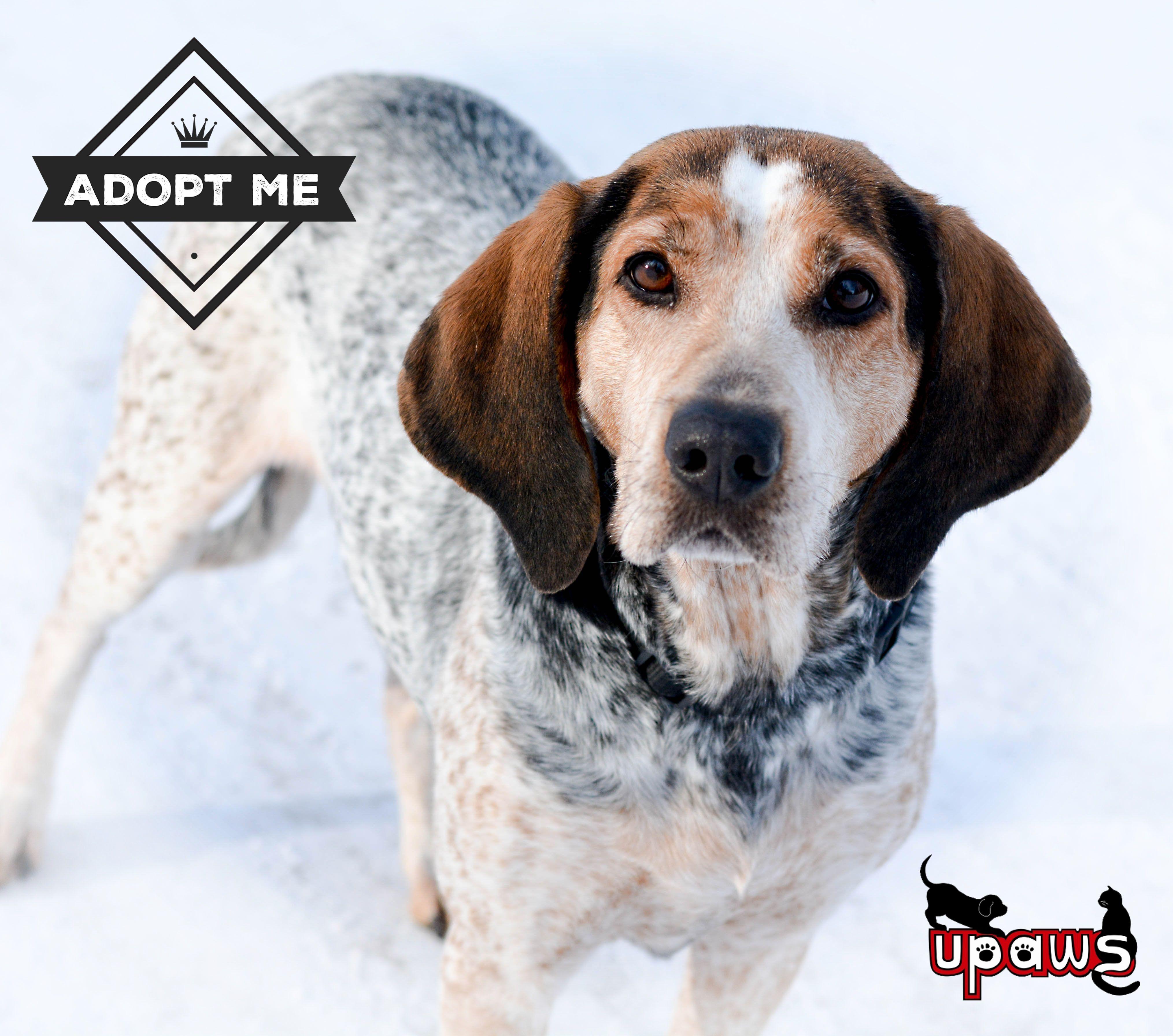 English Coonhound dog for Adoption in Negaunee, MI. ADN