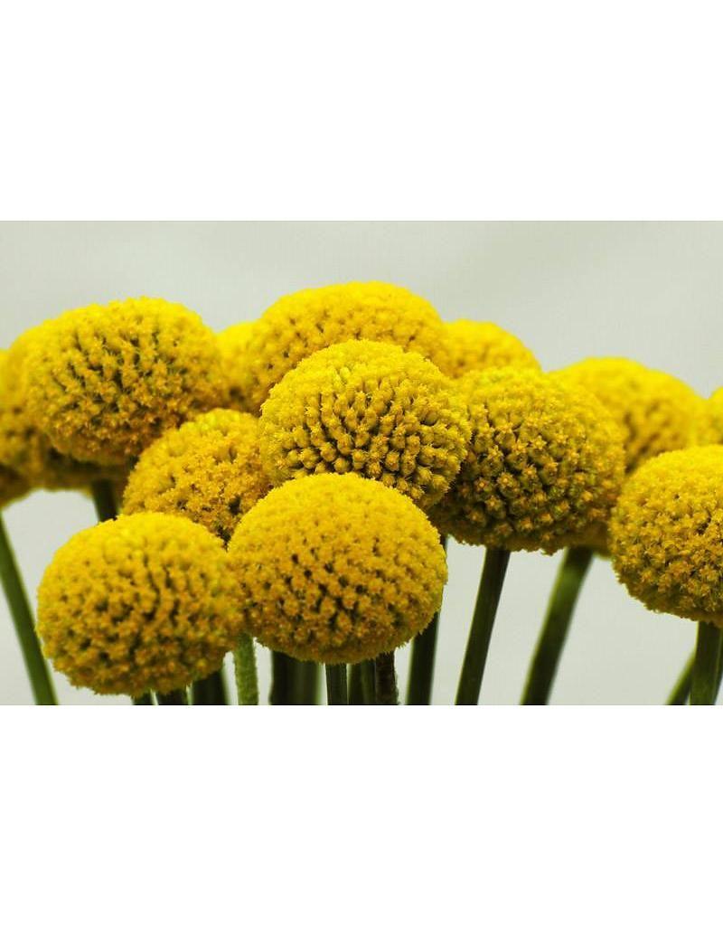 Craspedia S Drumstick Flowers Billy Buttons Bries Aan Zee Gele Bloemen Tuinplanten Bloemen