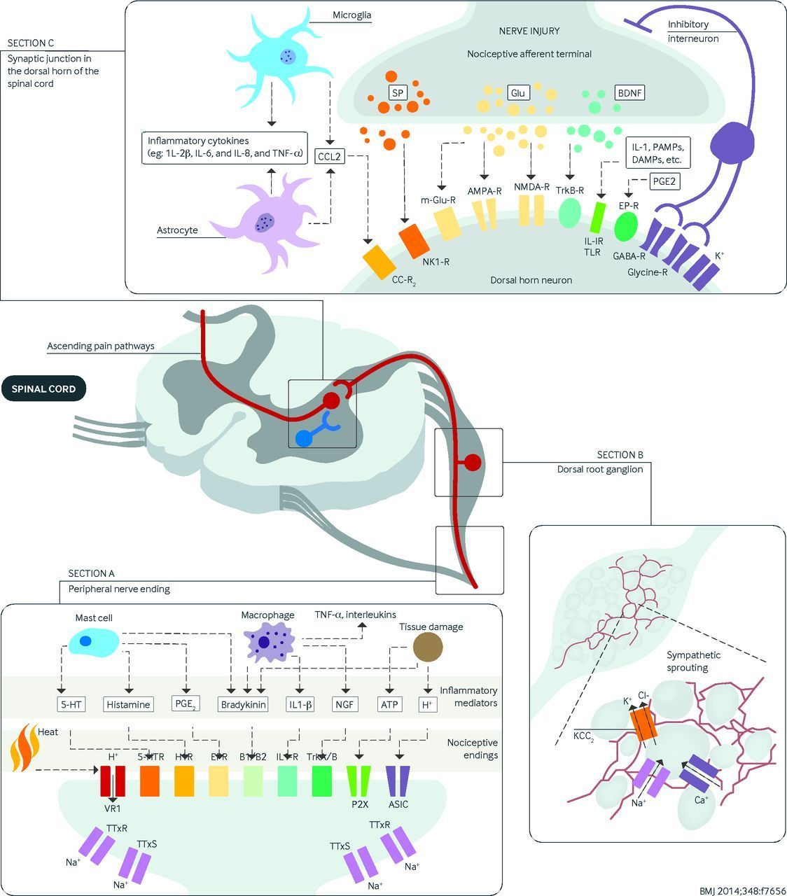 Diagram showing the various mechanisms involved in neuropathic diagram showing the various mechanisms involved in neuropathic pain at different sites in the nociceptive pathway pooptronica Choice Image